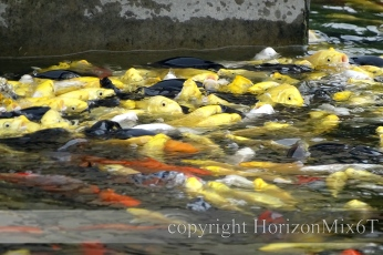 horizon-mix6t-pagode-oie-sauvage-poissons