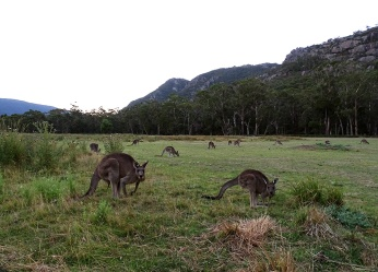 horizon-mix6t-kangaroos