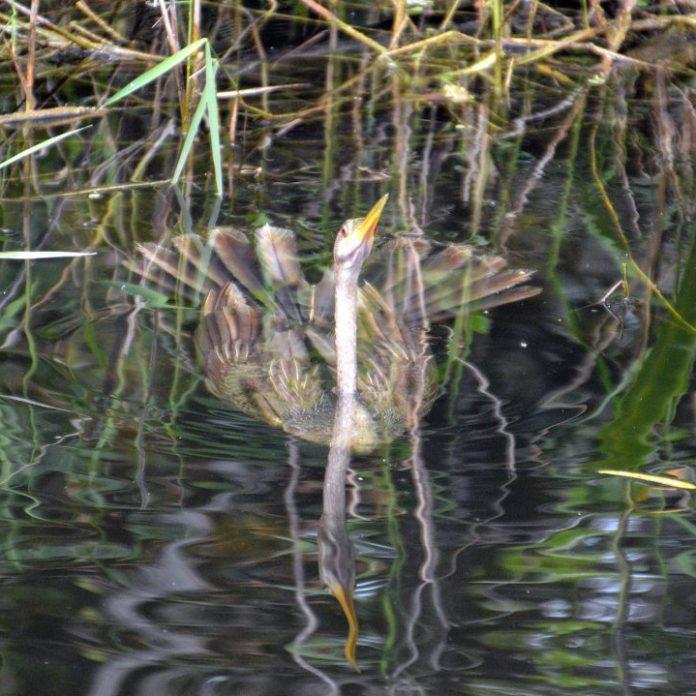 Everglades anhinga eau